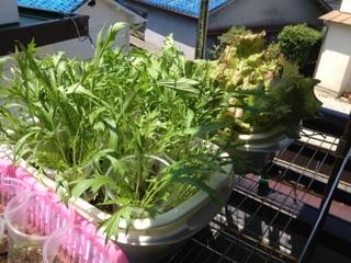 レタスと水菜